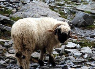 Schafe auf der oberen Engbergalm